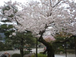 Photo of Sakura in bloom (mankai) taken in Gifu City, Japan